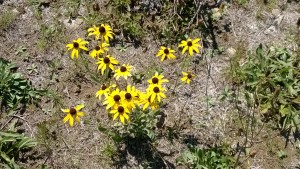Wildflowers (Black-eyed Susans)